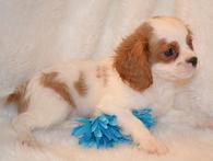 Arkansas King Charles Cavalier Puppies For Sale