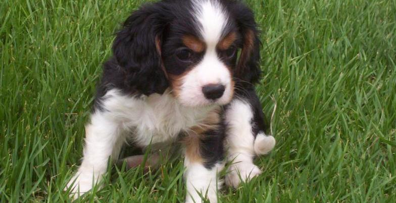 Eukanuba Puppy Food >> King Charles Cavalier & Chinese Pug Puppies For Sale ...